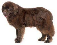 Newfoundland labrador dog.