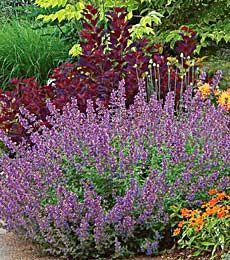 Nepeta Walker's Low  (Catmint) Height: 2-3'; Blooms In: June-July