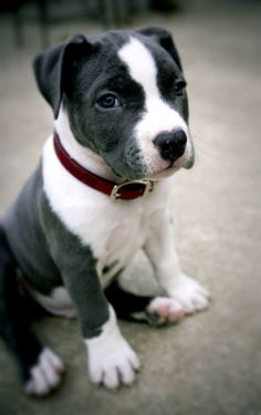 American Pit bull Terrier Puppy Dog Dogs Puppies Pitbull Pittie what a cutie! Cute Puppies, Cute Dogs, Dogs And Puppies, Doggies, Pit Bull Puppies, Bulldog Puppies, Poodle Puppies, Beagle Puppy, Husky Puppy