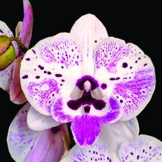 This cross is a beautiful phalaenopsis with lots of dots on the blush pink petals. The lip is peloric/ big lip form, the markings on the lip are amazing as if painted by hand. This is one of the new age breeding of phalaenopsis orchids. Orchid Tree, Moth Orchid, Phalaenopsis Orchid, Pink Orchids, Orchid Plants, Colorful Plants, Cool Plants, Unusual Flowers, Beautiful Flowers