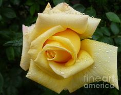 Yellow Rose Say Goodbye Photograph by Lingfai Leung - Yellow Rose Say Goodbye Fine Art Prints and Posters for Sale. http://fineartamerica.com/featured/yellow-rose-say-goodbye-lingfai-leung.html