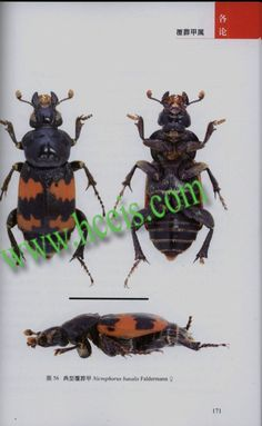 The Carrion Beetles of China(Coleoptera: Silphidae), China Scientific Book Services:The Best Professional          China Books