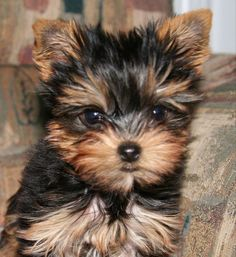 A Yorkshire Terrier puppy. Source by tammiehillard The post Cool Dog Names for a Yorkie appeared first on Bennett Dogs. Yorky Terrier, Yorshire Terrier, Bull Terriers, Yorkies, Yorkie Puppy, Yorkie Cut, Best Dog Names, Best Dogs, Female Dog Names