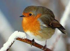 Winter Robin by Red Robin, Robin Bird, Feather With Birds Tattoo, Bird Feathers, Tattoo Bird, Animals And Pets, Cute Animals, Robin Photos, European Robin