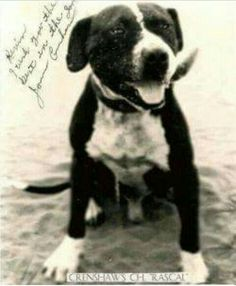 Crenshaw & CH Rascal, a great Rascal produced more good dogs than many recognized ROM's. With 9 Ch.'s and 1 Gr. to his credit, Ch.Rascal has had a major impact on the dogs of today. A brother to Wood's Oso Negro and Boudreaux'Lupe. Black And White Dog, White Dogs, Pit Dog, Dog Line, American Pitbull, Dog Games, Family Dogs, Whippet