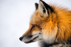 Japanese Northern Fox