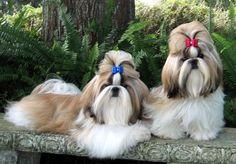 Shih Tzu, pretty dogs.  I want one, just one!
