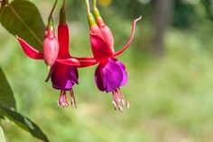 Shade-Loving Fuchsias Make Great Container Plants