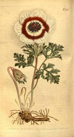 7979 Anemone coronaria L. / Curtis's Botanical Magazine, vol. 22: t. 841 (1805) [S.T. Edwards]