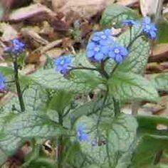 Alphabetical List of Shade Perennial Flowers