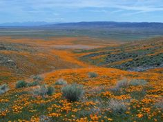 Spring in the Antelope Valley: A Riot of Poppies | Gather