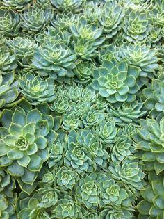 succulents--beautiful plants & gorgeous accents to any arrangement Mint Green Aesthetic, Rainbow Aesthetic, Aesthetic Colors, Aesthetic Pictures, Aesthetic Light, Green Aesthetic Tumblr, Green Theme, Green Colors, Colours