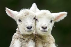 Two sibling lambs who were born on Easter Monday nuzzle each other in Kingsclere, North Hampshire, UK, on April 17.