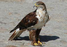 Falcão de caça                                                       …