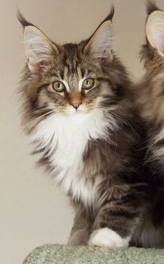 . http://www.mainecoonguide.com/kittens/