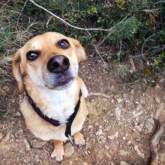 Polly The Awesome Mutt   #rescuedog #houndmix #puppyface #recuedogsofinstagram #muttsofinstagram #pawsomemutt #thedailywoof #dogsofinstagram #dogstagram #instapets #adoptdontshop