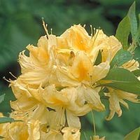 Rhododendron 'Lemon Lights' One of many varieties of deciduous Azaleas available at RareFind Nursery