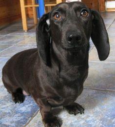 Black dachshund no points