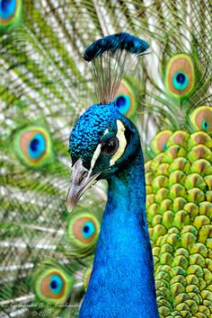 """forgottenmayBE coffeenuts: """"Peafowl by Dark-Raptor """"<br> Peacock Images, Peacock Pictures, Peacock Wall Art, Peacock Painting, Beautiful Birds, Animals Beautiful, Regard Animal, Animals And Pets, Cute Animals"""