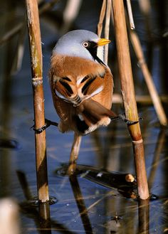 Bearded Reedling bird. The Bearded Reedling (Panurus biarmicus) is a small, sexually dimorphic reed-bed passerine bird. It is frequently known as the Bearded Tit.This species is a wetland specialist, breeding colonially in large reed beds by lakes or swamps. It eats reed aphids in summer, and reed seeds in winter, its digestive system changing to cope with the very different seasonal diets.