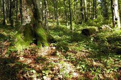 Prírodná rezervácia Pralesy Slovenska by mohla vzniknúť v septembri - SME Bratislava, Plants, Plant, Planets