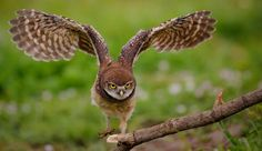 Determination - Burrowing Owl Juvi by Larry Frogge - Photo 133365719 - 500px