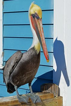Charlie the pelican on Oceanside Pier. See more about California at… Pelican Tattoo, Pelican Art, Pretty Birds, Beautiful Birds, Animals Beautiful, Oceanside Pier, Nautical Art, Sea Birds, Woodland Creatures