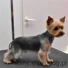 Groomed Yorkshire Terrier - Yahoo Image Search Results
