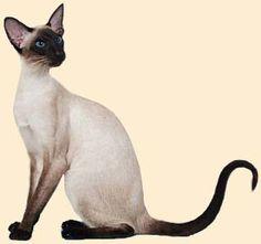 КоШкИ: сиамские кошки