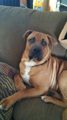 Parker a boxer mastiff mix and love of our life.