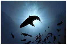 """Chris Leidy Photography: """"Big Fish"""" Sun Shark #ChrisLeidy #photography #underwater #ocean #underthesea Website: http://www.leidyimages.com/"""