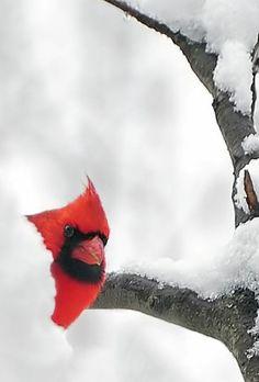 Cardinal Peek a Boo!