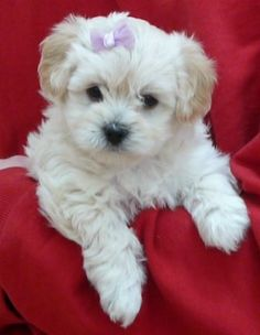Previous Litter Photos - Havapoo & Havanese Puppies