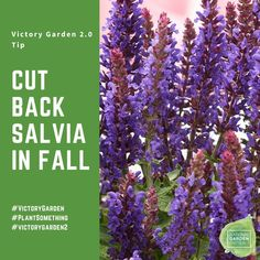 Fall Care Tip - Be sure to remove all Salvia foliage after it turns brown in the fall to promote healthy new growth the following spring. Salvia nemorosa are super hardy and it is unnecessary to mulch in the fall as it may cause disease when the plant emerges in the spring Gardening For Beginners, Gardening Tips, Victory Garden, Plant Species, Grow Your Own Food, Salvia, Urban Landscape, Garden Planning, Garden Inspiration