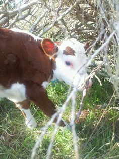 Another new bull calf. Registered Polled Hereford born Your gonna love it here at Rays Ranch. Cant wait for some cowlicks Cute Cows, Adorable Animals, Farm Animals Pictures, Watch Dance Moms, Hereford Cattle, Show Cattle, Cow Art, Down On The Farm, Ffa