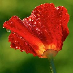 "500 Seeds, California Poppy ""Red Chief"" (Eschscholzia californica) Seeds By Seed Needs by Seed Needs: Flowers. $1.85. Easy planting instructions printed on each Seed Needs packet along with a colorful picture of the plant.. Prefers an area of full sunlight to partial shade. Quality Poppy seeds packaged by ""Seed Needs"". Perennial in warm regions / Annual in cool regions. Grows to a height of 8 to 12 inches tall. A brilliant red to crimson version of the California Popp..."