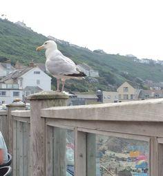 Seagull  at Sennen Cove