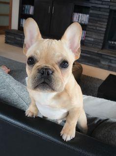 Alfie, the French Bulldog Puppy ❤️