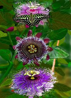 Pinterest Garden, Passion Flower, Crucifix, Flora, Fruit, Image, Gardens, Drawing Pictures, Watercolor