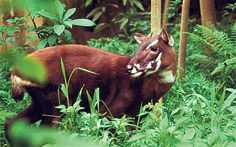 Saola -  Critically Endangered ~~~~~ POPULATION Unknown  SCIENTIFIC NAME Pseudoryx nghetinhensis  HEIGHT Average 33 inches at the shoulder  The saola, Vu Quang ox or Asian unicorn, also, infrequently, Vu Quang bovid, one of the world's rarest mammals, is a forest-dwelling bovine found only in the Annamite Range of Vietnam and Laos.
