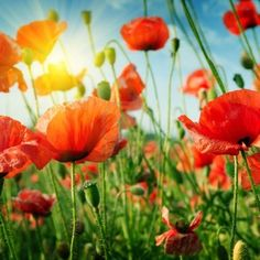 Find Poppies Field Rays Sun stock images in HD and millions of other royalty-free stock photos, illustrations and vectors in the Shutterstock collection. Thousands of new, high-quality pictures added every day. Pro Art, Sunshine Photos, Sun Stock, Remember Day, Day Tours, Siena, Wall Murals, Wall Art, Poppies