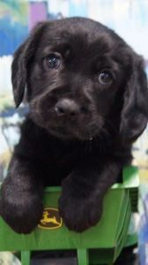 Cavoodle Puppies for Sale - Pines Pets | pups | Puppies ...