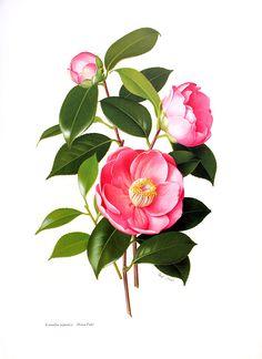 Camellia japonica Hana-Fuki