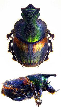 Onthophagus concinnus
