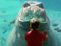 Underwater Hippopotamus viewing at San Antonio Zoo