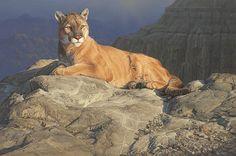 Daniel Smith - Fleeting Sun - Mountain Lion - Puma - Cougar