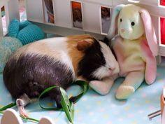 @ambermayao has the best Guinea Pig pins!