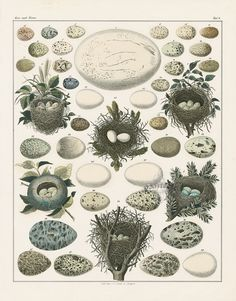 Nests & Eggs from Bird Egg Prints by Lorenz Oken 1843