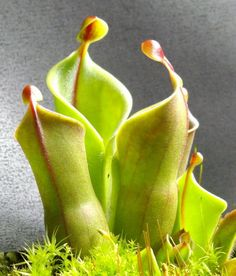 Heliamphora minor (pitcher plant)  **  These are really cool.  I see ladies watching over ... how 'bout you?