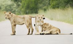 Connected by Tracy Wilkin on 500px. Lions, Lioness, Kruger National Park, Safari, South Africa, wildlife.